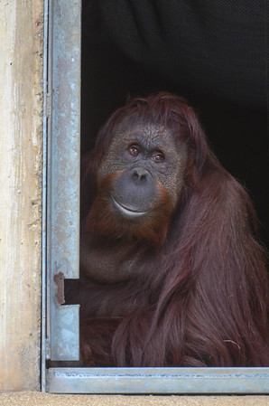Orangutan Lucy sits just inside the door on a cold day. National Zoo, Smithsonian Institution, Washington DC, March 2014.