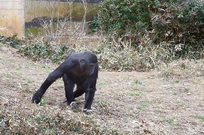 Kibibi, daughter of Mandara and Baraka, turned 5 in January 2014. National Zoo, Smithsonian Institution, Washington DC, March 2014.