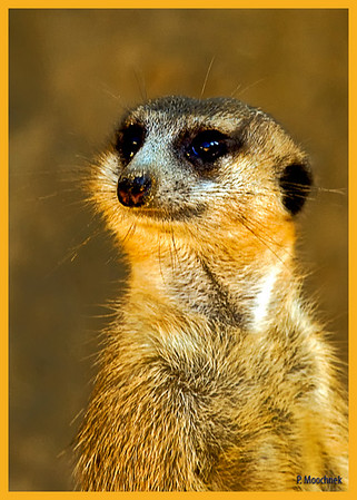 """""""Meerkat"""" is an English loan word from Afrikaans. The name came from Dutch but by misidentification. Dutch meerkat and German Meerkatze mean """"guenon"""", a monkey of the Cercopithecus genus. The word """"meerkat"""" looks like Dutch for """"lake cat"""", but the suricata is not in the cat family, and neither suricatas nor guenons are attracted to lakes; the word possibly started as a Dutch adaptation of a derivative of Sanskrit markaţa मर्कट = """"monkey"""", perhaps in Africa via an Indian sailor onboard a Dutch East India Company ship. The traders of the Dutch East India Company were likely familiar with monkeys, but the Dutch settlers attached the name to the wrong animal at the Cape. The suricata is called stokstaartje = """"little stick-tail"""" in Dutch and Erdmännchen = """"little earth-man"""" in German.<br /> <br /> According to African popular belief (mainly in the Zambian/Zimbabwean region), the meerkat is also known as the sun angel, as it protects villages from the moon devil or the werewolf which is believed to attack stray cattle or lone tribesmen.<br /> <br /> Anatomy<br /> A meerkat in the Kalahari Desert<br /> A meerkat in the Kalahari Desert<br /> <br /> The meerkat is a small diurnal herpestid (mongoose) weighing on average about 731 grams (1.61 pounds) for males and 720 grams (1.58 pounds) for females. Its long slender body and limbs give it a body length of 12 to 35 in (1 to 2 feet) and an added tail length of 17 to 24 cm (7 to 10 inches). Its tail is not bushy like all other mongoose species, but is rather long and thin and tapers to a black or reddish colored pointed tip. The meerkat uses its tail to balance when standing upright. Its face tapers, coming to a point at the nose, which is brown. The eyes always have black patches around them, which help deflect the sun's glare. The meerkat has small black crescent-shaped ears that can close when digging to keep sand out. Like cats, meerkats have binocular vision, a large peripheral range, depth perception, and eyes on the fron"""