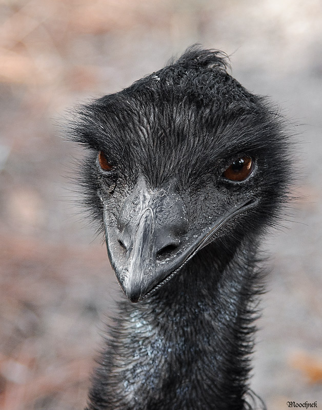 Caught this Emu at the Tampa Zoo today- he quite frankly did not look happy!!!!