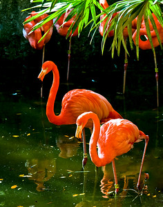 Flamingo common name for a large pink or red wading bird, similar to the related heron, stork, and spoonbill but with a longer neck, webbed feet, and a unique down-bent bill. Flamingos are tropical birds, although large colonies have been observed high in the Andes. The American, or greater, flamingo, Phoenicopterus ruber, is now rarely seen in Florida, nesting chiefly in the West Indies. Its plumage is vermilion with black-edged wings; a common S Asian and African flamingo is scarlet with black wing feathers. The flamingo scoops its large bill backward through shallow water in marshes and lagoons. When closed, the serrated edges of the bill strain from the muddy water the aquatic plants, shellfish, and frogs on which the bird feeds. The nest is a cone of mud 1 to 2 ft (30-61 cm) high and about 1 ft (30 cm) across with a depression on top. The mates take turns incubating the one or two eggs, sitting astride the nest with their legs folded flat on either side. Flamingos are classified in the phylum Chordata , subphylum Vertebrata, class Aves, order Ciconiiformes, family Phoenicopteridae.