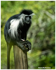 "Colobus Monkey    Physical Characteristics The name ""colobus"" is derived from the Greek word for ""mutilated,"" because unlike other monkeys, colobus monkeys do not have thumbs. Their beautiful black fur strongly contrasts with the long white mantle, whiskers and beard around the face and the bushy white tail. The Eastern black-and-white is distinguishable by a U-shaped cape of white hair running from the shoulders to lower back, whereas the Angolan black-and-white has white hairs flaring out only at the shoulders.   Habitat Two types of black and white colobus monkeys are found in Kenya those that inhabit coastal forests and those in inland high-country areas. Red colobus monkeys are also found in East Africa, but are quite rare. Two other types of colubus monkeys in Africa are the black and the olive.   The colobus lives in all types of closed forests, including montane and gallery forests. Bamboo stands are also popular dwelling spots for the colobus.   Behavior The colobus is the most arboreal of all African monkeys and rarely descends to the ground. It uses branches as trampolines, jumping up and down on them to get liftoff for leaps of up to 50 feet. They leap up and then drop downward, falling with outstretched arms and legs to grab the next branch. Their mantle hair and tails are believed to act as a parachute during these long leaps.   Colobus monkeys live in troops of about 5 to 10 animals—a dominant male, several females, and young. Each troop has its own territory which is well defined and defended from other troops. Adult troop members, especially males, make croaking roars that can be heard resonating throughout the forest.   Fighting over mates rarely occurs. There is no distinct breeding season although most mating probably occurs during rainy season. Because a female suckles her infant for over a year, an average of 20 months passes before she gives birth again. Other troop members often handle very young infants. In the first month when the infant still has a pink face, it may be handled three to five times an hour in resting groups. Infant mortality is high even though the young are carefully tended.   The newborn colobus monkey is covered with white fur, and at about 1 month gradually begins to change color, finally gaining the black and white adult coloration at about 3 months. The infant monkey is carried on the mother's abdomen, where it clings to her fur. As it matures it spends a lot of time playing with its mother and certain other adults and at about 7 months begins playing with other juveniles. The games they play exercise their bodies, and as they get older, these develop into wrestling matches and mock displays.   Diet Colobus monkeys are strictly leaf-eaters and spend most of their time in treetops, preferring to eat the tender young leaves found there. However, complex stomachs enable them to digest mature or toxic foliage that other monkeys cannot."