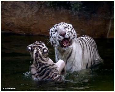 "Genetics of the White Tiger  White Tigers can ONLY exist in captivity by continual inbreeding, such as father to daughter, brother to sister, mother to son and so forth. This is because the white color is the result of a double recessive allele (gene) and thus the white color can only be produced by inbreeding one tiger carrying the recessive gene for the white color to another tiger carrying the same recessive gene. Before the five remaining species of tigers were pushed to the brink of extinction by the activities of humans, the random occurrence of one normal colored tiger carrying the recessive gene for the white color breeding to another normal colored tiger also carrying the recessive gene for white color, thus producing one or possibly two cubs possessing the double allele for the white color and consequently being born white, occurred about once in every 10,000 births. That statistical approximation is based upon recorded observations in the wild of white cubs. It should be noted that the first recorded observation of a white cub was made in the mid-fifteenth century and the only wild observations of white cubs have been in Bengal tigers.  Because the white coloration is so disadvantageous to survival there is no recorded evidence of a white cub ever living long enough in the wild to become an adult. That is why white tigers ONLY exist in captivity and then ONLY as the result of continual, destructive and unethical inbreeding. Thus, the concept of the ""Royal Rare White Bengal Tiger"" is a myth and likely the most deceptive misconception and most destructive conservation fraud ever perpetrated on the American public. The truth is that all the white tigers currently in the United States are not even Bengal tigers but are worthless hybrids or crossbreds originating from normal colored offspring born to a pure Siberian male tiger and a pure Bengal female tiger that were kept together during the 1960's at the Sioux Falls, S.D. Zoo. Unknown to the Zoo at that time or to the two private exhibitors who purchased cubs from two litters born at the Zoo, all the normal colored cubs carried the recessive gene for the white color because either or both their Siberian father or their Bengal mother was a or were random carriers of the recessive mutant gene. Thus when the two private exhibitors that purchased litter mates from the Sioux Falls Zoo unethically bred brother to sister, the recessive mutant genes were paired, producing one or two white tigers."