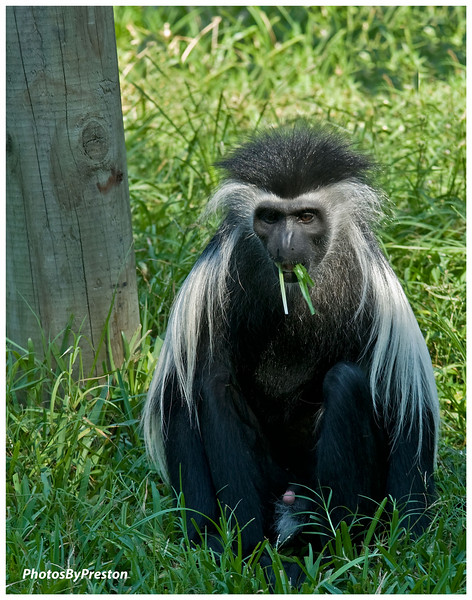 Heavy Colobus Contemplation