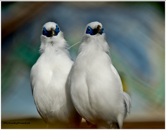 Bali Starlings or Bali Mynas<br /> Birds: Bali Mynah<br /> <br /> <br /> Range: Only found in the northwestern tip of the island of Bali, part of Indonesia<br /> Habitat: Open woodland, savannas, and forested valleys.<br /> Beautiful and mysterious<br /> <br /> The Bali mynah is a beautiful snow white bird with black feathers at the tips of its wings and striking sky blue patches of skin around its eyes. Its beauty is probably why this bird's likeness is used in much of the cultural art found on the island of Bali in Indonesia. The Bali mynah, also called the Bali starling, is found in one small region of Bali, an island that is smaller than the size of Rhode Island.<br /> <br /> Not a lot of research has been done on wild Bali mynahs. What we do know comes mostly from studying the mynahs in zoos. During the 1960s and 1970s, several hundred birds were legally brought to the United States and Europe to both zoos and private collectors. These birds and their descendants make up the approximately 1,000 birds that live in managed care.<br /> Family life<br /> <br /> Bali mynahs live in the holes of trees and line their nests with leaves, stems of dried plants, and feathers. In zoos, their nests are home to the several clutches of eggs they may have each year. In the wild, they seem to breed between November and April, which is the rainy season for Bali. The entire population of Bali mynahs usually gathers in the 740-acre (300-hectare) section of Bali Barat National Park to pair up and breed. They may produce two to three clutches during this time with two to three eggs per clutch. The eggs are bluish green, and both the mother and father incubate the eggs. Both parents feed the chicks and take turns carrying food back to the nest in their beaks. Bali mynahs eat insects and fruit. Insects seem to be most plentiful in Bali during the rainy season. Perhaps this is why the mynahs have their breeding season at that time.<br /> Why are Bali mynahs in trouble?<br /> <br /> Eve