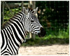 Zebra  <br /> <br /> Physical Characteristics<br /> Zebras, horses and wild asses are all equids, long-lived animals that move quickly for their large size and have teeth built for grinding and cropping grass. Zebras have horselike bodies, but their manes are made of short, erect hair, their tails are tufted at the tip and their coats are striped. <br /> <br /> Three species of zebra still occur in Africa, two of which are found in East Africa. The most numerous and widespread species in the east is Burchell's, also known as the common or plains zebra. The other is the Grevy's zebra, named for Jules Grevy, a president of France in the 1880s who received one from Abyssinia as a gift, and now found mostly in northern Kenya. (The third species, Equus zebra, is the mountain zebra, found in southern and southwestern Africa.) <br /> <br /> The Burchell's zebra is built like a stocky pony. Its coat pattern can vary greatly in number and width of stripes. The stripes are a form of disruptive coloration which breaks up the outline of the body. At dawn or in the evening, when their predators are most active, zebras look indistinct and may confuse predators by distorting distance. Their shiny coats dissipate over 70% of incoming heat. <br /> <br /> Habitat<br /> Burchell's zebras inhabit savannas, from treeless grasslands to open woodlands; they sometimes occur in tens of thousands in migratory herds on the Serengeti plains. Grevy's zebras are now mainly restricted to parts of northern Kenya. Although they are adapted to semi-arid conditions and require less water than other zebra species, these zebras compete with domestic livestock for water and have suffered heavy poaching for their meat and skins. <br /> <br /> Behavior<br /> The Burchell's zebra's social system is based on a harem of females led by a stallion. Stallions establish their harems by abducting fillies who have come into their first estrus. These fillies advertise their condition with a peculiar stance: straddl