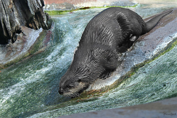 Having Fun---Mr Otter