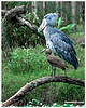 """The Shoebill, Balaeniceps rex, also known as Whalehead, is a very large bird related to the storks. It derives its name from its massive shoe-shaped bill.<br /> <br /> The Shoebill is a very large bird, averaging 1.2 metres (4 ft) tall, 5.6 kilograms (12.3 lbs) and a 2.33 metres (7.7 ft) wingspan. The adult is mainly grey while the juveniles are browner. It lives in tropical east Africa in large swamps from Sudan to Zambia.<br /> <br /> This species was only discovered in the 19th century when some skins were brought to Europe. It was not until years later that live specimens reached the scientific community. However, the bird was known to both ancient Egyptians and Arabs. There are Egyptian images depicting the Shoebill, while the Arabs referred to the bird as abu markub, which means one with a shoe, a reference to the bird's distinctive bill.<br /> <br /> Shoebills feed in muddy waters, preying on lungfish and similar fish. They nest on the ground and lay 2 eggs.<br /> <br /> The population is estimated at between 5,000 and 8,000 individuals, the majority of which live in Sudan. BirdLife International have classified it as Vulnerable with the main threats being habitat destruction, disturbance and hunting.<br /> <br /> The Shoebill is one of the bird taxa whose taxonomic treatment is murky. Traditionally allied with the storks (Ciconiiformes), it was retained there in the Sibley-Ahlquist taxonomy which lumped a massive number of unrelated taxa into their """"Ciconiiformes"""". More recently, the shoebill has been considered to be closer to the pelicans (based on anatomical comparisons; Mayr, 2003) or the herons (based on biochemical evidence; Hagey et al., 2002). The fossil record does not shed much light on the issue, as usual when dealing with birds. So far, two fossil relatives of the shoebill have been described: Goliathia from the early Oligocene of Egypt and Paludavis from the Early Miocene of the same country. It has been suggested that the enigmatic African foss"""