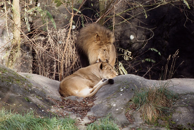 Lions Grooming