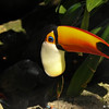 The Toco Toucan is the largest of all toucans. The bright orange beak is about 8 in. long – one third of the bird's total length. But despite its substantial size, the beak weighs less than you may think. Composed of the protein keratin, the structure of beak incorporates many air pockets allowing for a very low mass. Furthermore, recent research has concluded that toucans regulate body temperature by adjusting the flow of blood to their beak. More blood flow means more heat is released. When toucans sleep, they tuck their beak under their feathers to keep them warm.