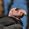 The California condor is one of the world's rarest bird species: as of June 2014 there are 439 condors living wild or in captivity. The California condor became extinct in the wild in 1987 (all remaining wild individuals were captured), but the species has been reintroduced to northern Arizona and southern Utah (including the Grand Canyon area and Zion National Park), the coastal mountains of central and southern California, and northern Baja California. Condor numbers dramatically declined in the 20th century due to poaching, lead poisoning, and habitat destruction. A conservation plan was put in place by the United States government that led to the capture of all 22 remaining wild condors in 1987. These surviving birds were bred at the Los Angeles Zoo and the San Diego Zoo Safari Park. Numbers rose through captive breeding and, beginning in 1991, condors were reintroduced into the wild.