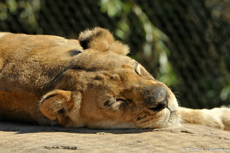 A female African Lion sleeping in the sun. Lions have been celebrated throughout history for their courage and strength. They once roamed most of Africa and parts of Asia and Europe. Today they are found only in parts of sub-Saharan Africa, except for one very small population of Asian lions that survives in India's Gir Forest.