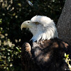 The Bald Eagle has been the national emblem of the United States since 1782 and a spiritual symbol for native people for far longer than that. These regal birds aren't really bald, but their white-feathered heads gleam in contrast to their chocolate-brown body and wings. Look for them soaring in solitude, chasing other birds for their food, or gathering by the hundreds in winter. Once endangered by hunting and pesticides, Bald Eagles have flourished under protection.