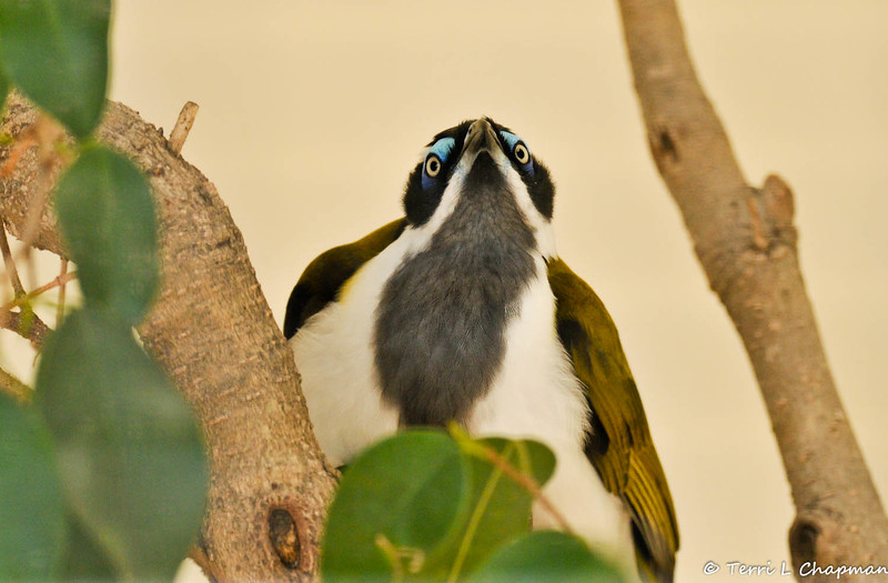 The Blue-faced Honeyeater is found in northern and eastern mainland Australia, from the Kimberley region, Western Australia to near Adelaide, South Australia, being more common in the north of its range. This honeyeater is noisy and gregarious, and is usually seen in pairs or small flocks. It is known as the Banana-bird in tropical areas, for its habit of feeding on banana fruit and flowers.