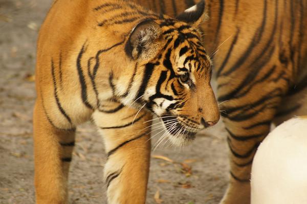 Tiger cubs 1st Birthday