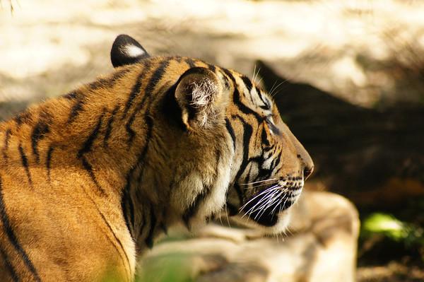 tigers palm beach zoo