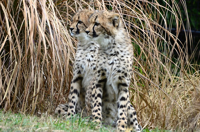 A sudden noise brought both cubs to their haunches. Born via an emergency Caesarean section,in April, the brother and sister are now 8 months old.