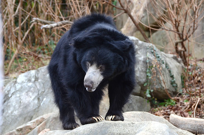 Sloth bears are the much abused dancing bears of India.
