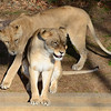 Closer! Have to get closer! Sister lions at the National Zoo, Washington, DC.