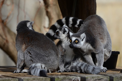 There! Look! Where? There! Ring tailed lemurs, National Zoo,  Washington DC.
