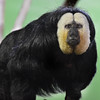 This male Pale-headed Saki has a mate in the same enclosure. They should get together soon, ya think?