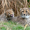 Love to lick you very much. Cheetah cubs, brother and sister, at the National Zoo, Washington DC.