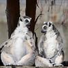 Nothing like a full stomach and warm sunshine on a mild winter's day, ya think? Ring tailed lemurs on Lemur Island, National Zoo, Washington DC.