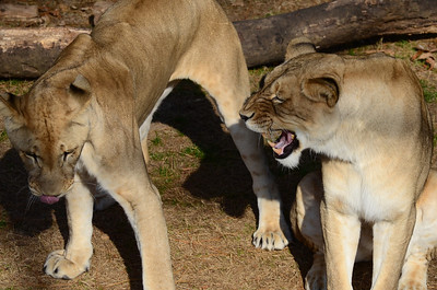 I said NO! Lions at the National Zoo, Washington, DC.