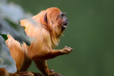 Golden Lion Tamarin seems always negotiating  for food.