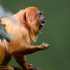 Golden Lion Tamarin seems always negotiating  for food.