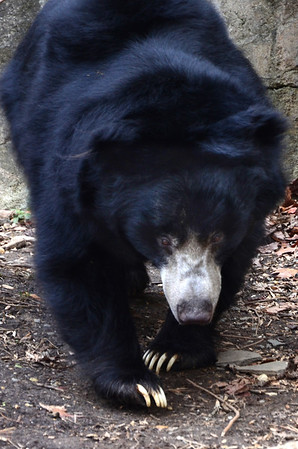 Sloth bear's claws can peal an orange or banana with one swipe.