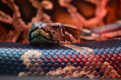 Foreground, middle, and background, it is all the same Burmese Python warming itself beneath a heat lamp.