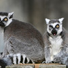 Three eyes between them, who needs any more when you have each other? Ring tailed lemurs at the National Zoo, Washington, DC.