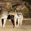 No! Get away! Lions at the National Zoo, Washington, DC.