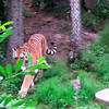 tiger enrichment