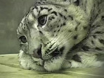 Molly, one of the two Snow Leopards at the Alaska Zoo resting on her bed..............and Kaz her male companion.