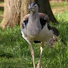 This Kori Bustard seemed either very curious or extremely vain.