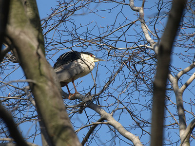 This Black-crowned Night-Heron looks short for a heron but can actually fly a little.