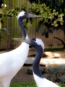 Red-crowned Cranes. The glow comes from Photoshop.