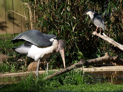 Marabou Stork, left, eyes the pond for breakfast. a Black-crowned Night-Heron is at right.