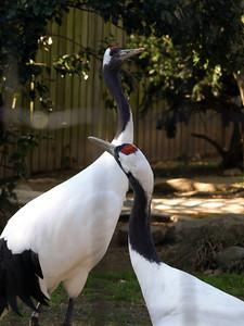 Red-crowned cranes.