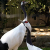 Red-crowned cranes.