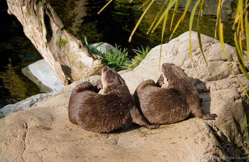 synchronised scratching, two otters.
