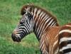 Young zebra.