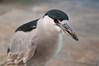 Black-capped Heron