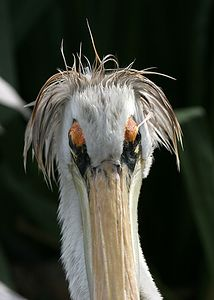 African Pink-Backed Pelican with a bad hair day...