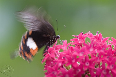 """""""Tailed Batwing"""" (Atrophaneura polyeuetes) butterfly"""