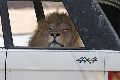 Male Transvaal Lion at the San Diego Wild Animal Park