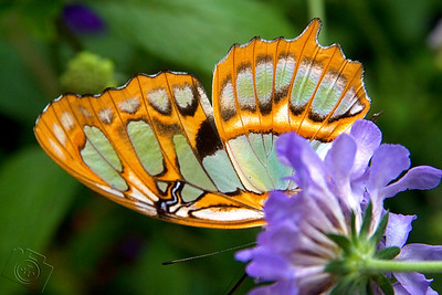 Underside of a Graphium agamemnon butterfly.