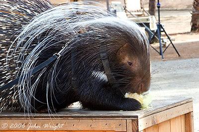 """The """"Small African Mammal,"""" an African Porcupine."""